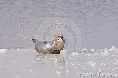 Common seal on ice