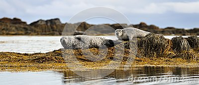 Common seals resting