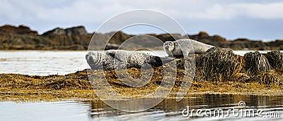 Common seals resting