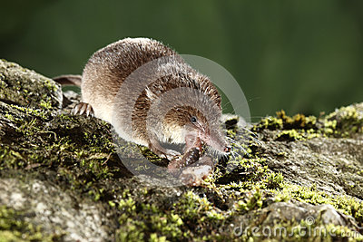 Common shrew, Sorex araneus