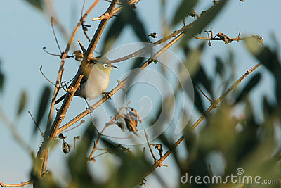 Common Silvereye bird in wild