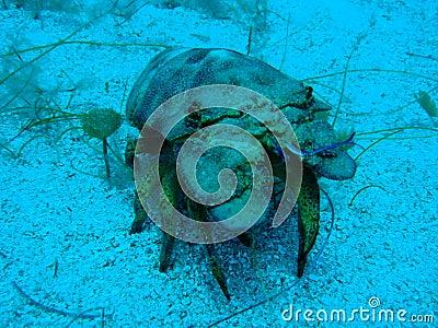 Common Slipper lobster