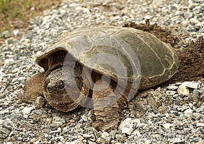 common snapping turtle, chelydra s. serpentina