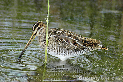 Common snipe feeding
