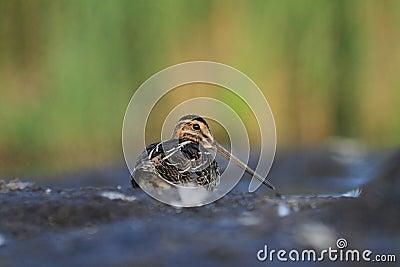 Common Snipe Gallinago gallinago