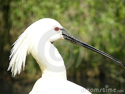 Common Spoonbill 2
