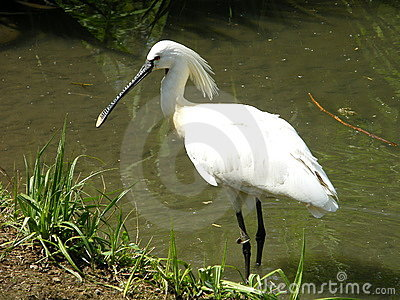 Common Spoonbill 3