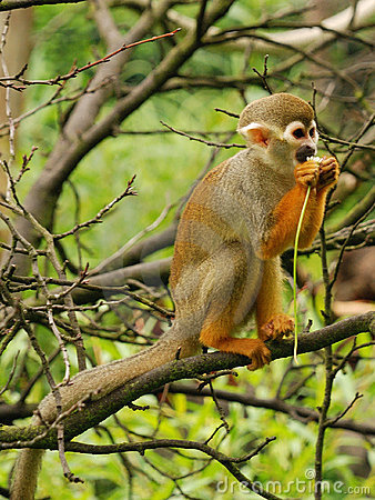 Free Common Squirrel Monkey Stock Photos - 9931023