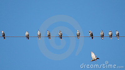 Common Starling on wire