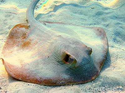Common stingray