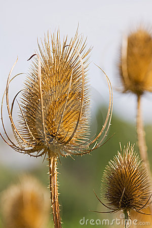 Free Common Teasel Stock Images - 21232534