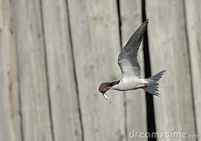 Common tern in flight with fish.