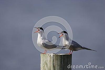 Common Tern (Sterna hirundo hirundo)