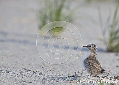 Common Tern (Sterna Hirundo) young bird