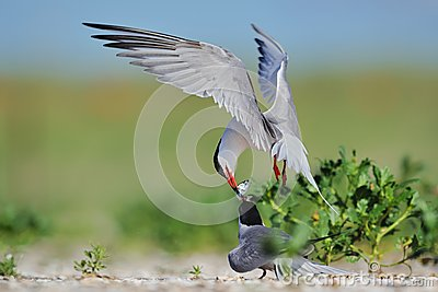 Common terns fighting for fish