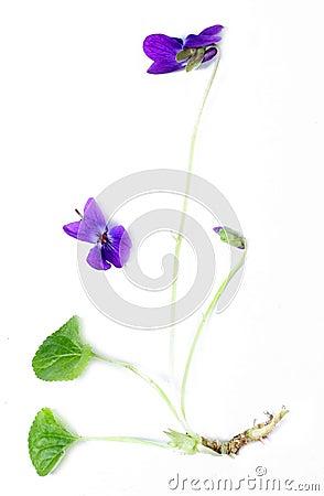Common Violet (Viola odorata)
