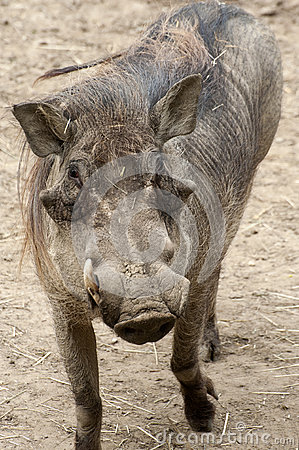 Common Warthog Stock Photo