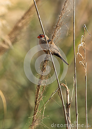 Common Waxbill