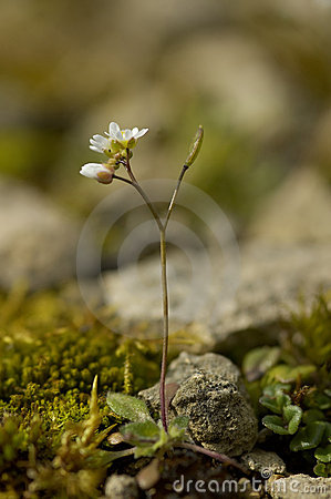 Common Whitlowgrass - Erophila verna