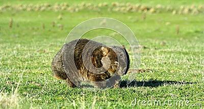 Common Wombat in field