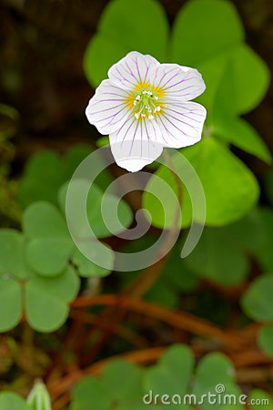 Free Common Wood Sorrel Royalty Free Stock Photography - 24811497