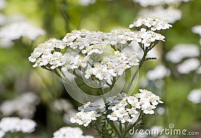 Commonyarrow Flowers on Common Yarrow Stock Photo   Image  13371550