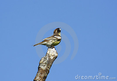 Common yellow-breasted bunting.