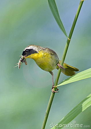 Common Yellowthroat with Insects