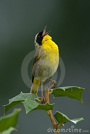 Common Yellowthroat Shouting Out