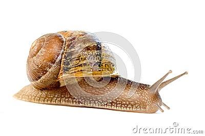 Commun european snail (Helix a