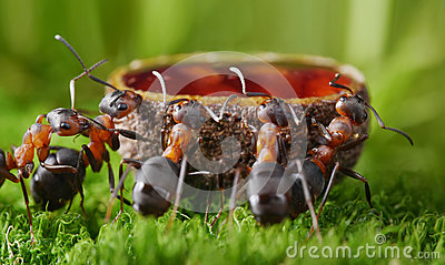 ants drink sweet syrup