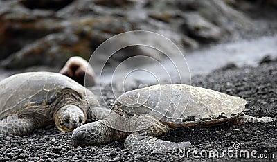 Companion Green Sea Turtles relaxing
