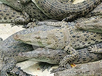 Competition against alligators