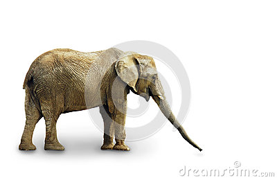 Complete elephant on white