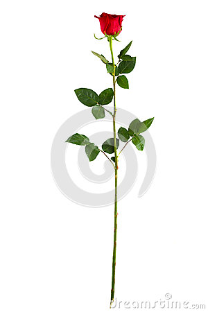 Free Complete Long Stem Vertical Red Rose Royalty Free Stock Images - 52850929