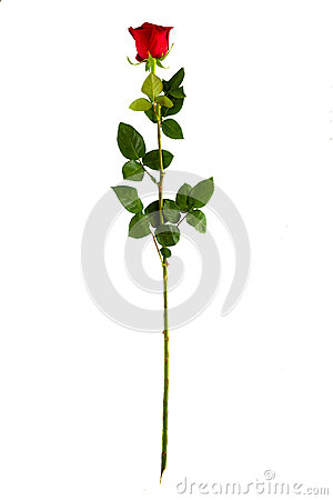 Free Complete Long Stem Vertical Red Rose Stock Images - 52850954