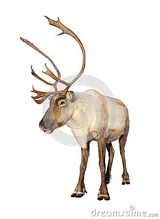Completi la renna del caribù isolata
