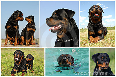 Composite picture rottweiler