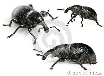Composition of Beetles, Liparus dirus, larva