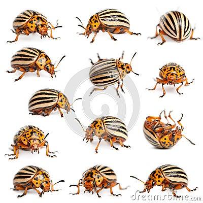Composition of Colorado potato beetles