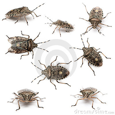 Composition of European stink bugs, Rhaphigaster