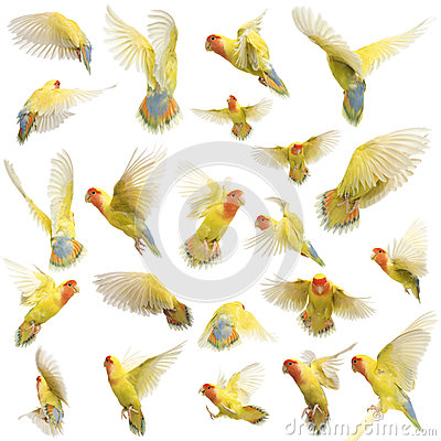 Composition of Rosy-faced Lovebird flying