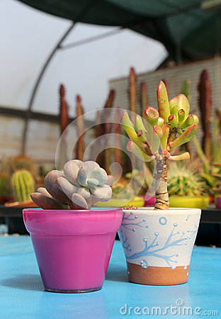 Free Composition With Two Succulents Royalty Free Stock Photos - 39331358
