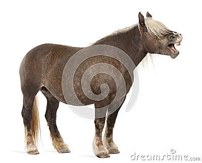Comtois horse, a draft horse, Equus caballus