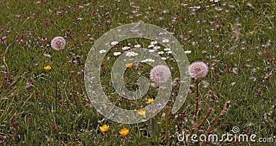Comum Dandelion, taraxacum officinale, sementes de 'relógios' sendo sopradas e dispersas pelo vento, Normandia, Movimento lento vídeos de arquivo