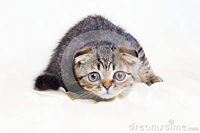 Concentrated Scottish Fold Kitten Ready To Jump