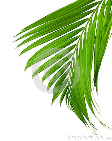 Free Concept Summer With Green Palm Leaf From Tropical . Frond Floral. Flora, Forest. Stock Photography - 113652602