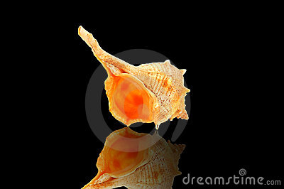 Conch on black with reflection.
