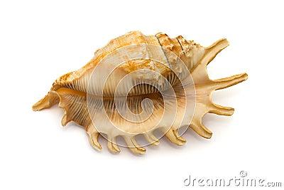 Conch, close-up