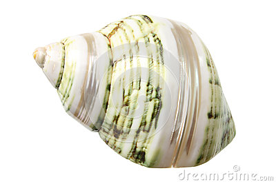 Conch Seashell